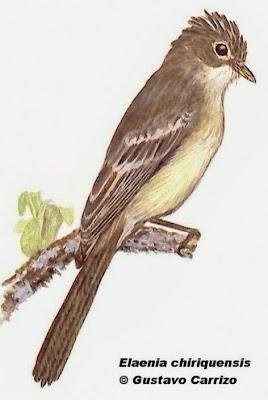 Lesser Elaenia