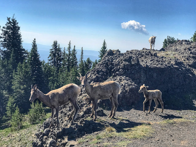 Bighorn sheep on trail up to Mt. Washburn
