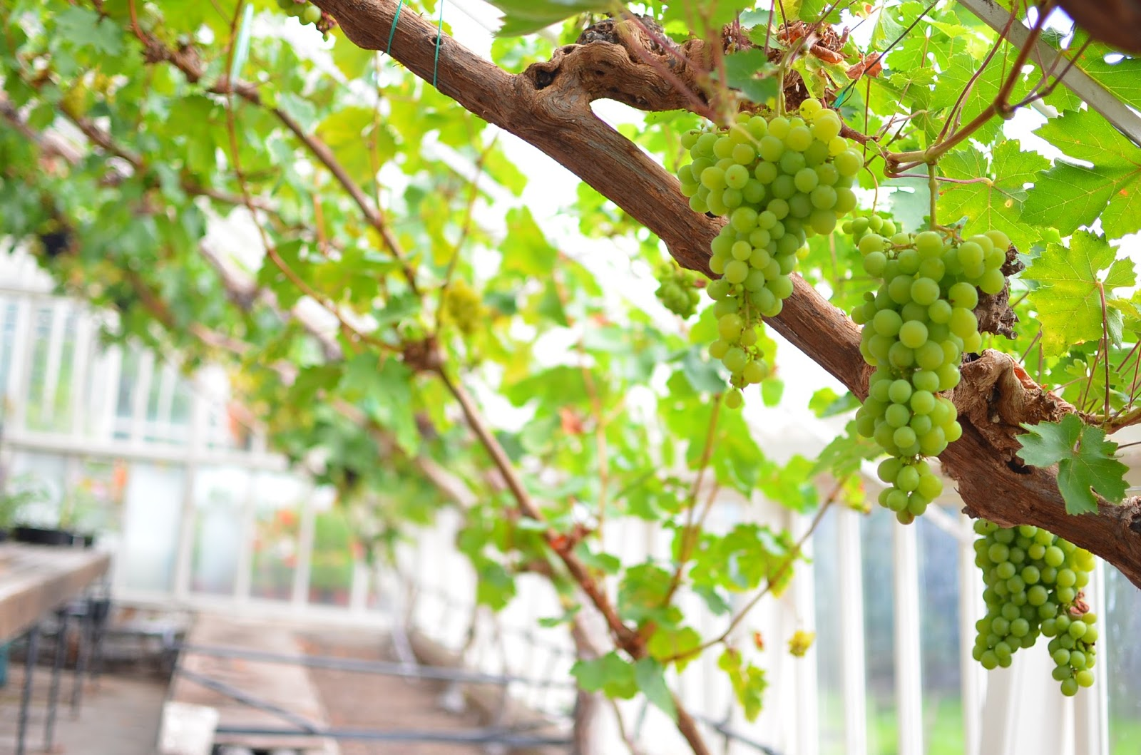 Vegetable Garden Grapes at Drummond Castle Scotland