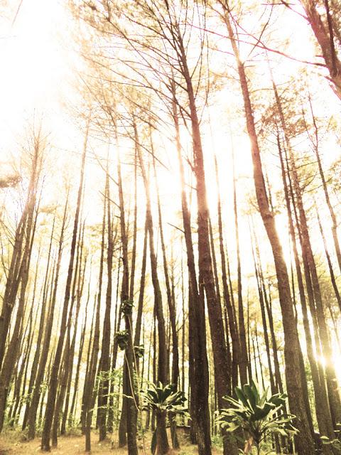 hutan pinus di bogor