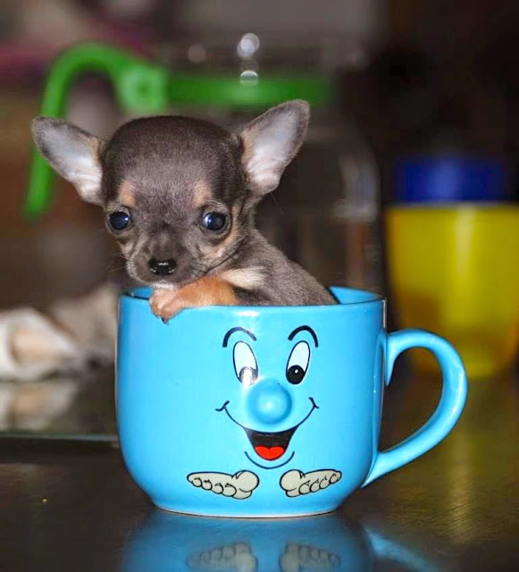 8 Things You Need to Know About the Adorable Teacup Chihuahuas