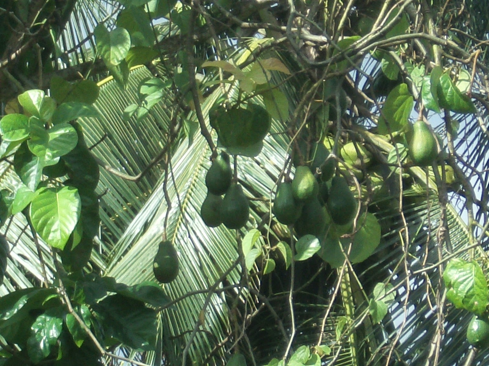 Letters to my friends Fruits and Trees in Belize