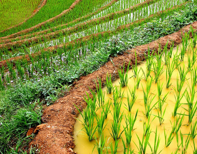 Rice is grown on terraces in Sapa 3