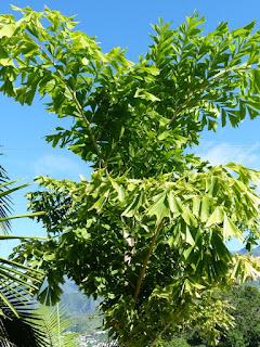 Caryota maxima - Palmier Queue de Poisson géant
