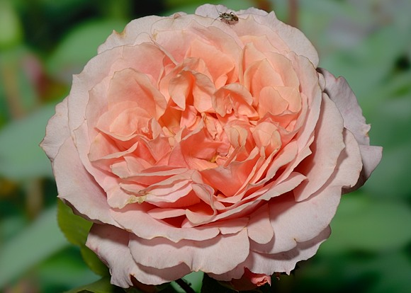 Paul Bocuse rose сорт розы фото