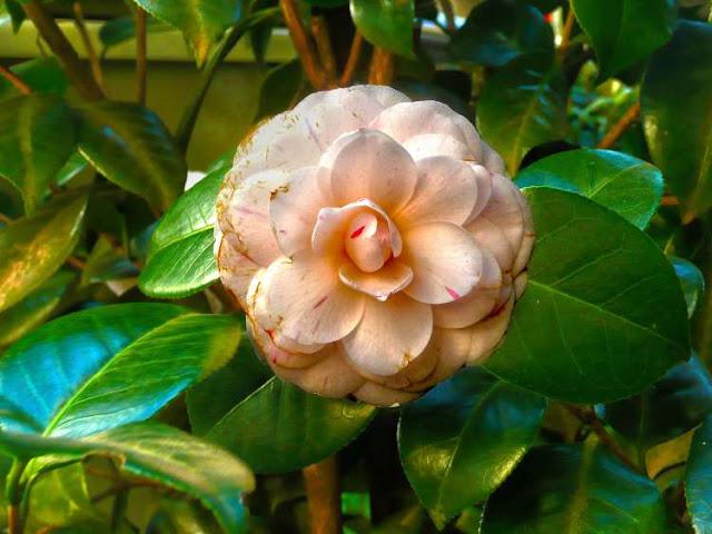 Fotograsfía de una flor de Camelia.