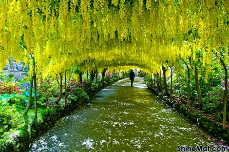 Laburnum Tunnel, Bodnant Gardens, UK