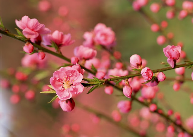 Peach blossoms bloom early in Hanoi flower village 1