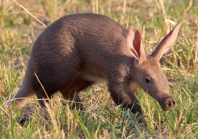 Animals That Start With A - Aardvark