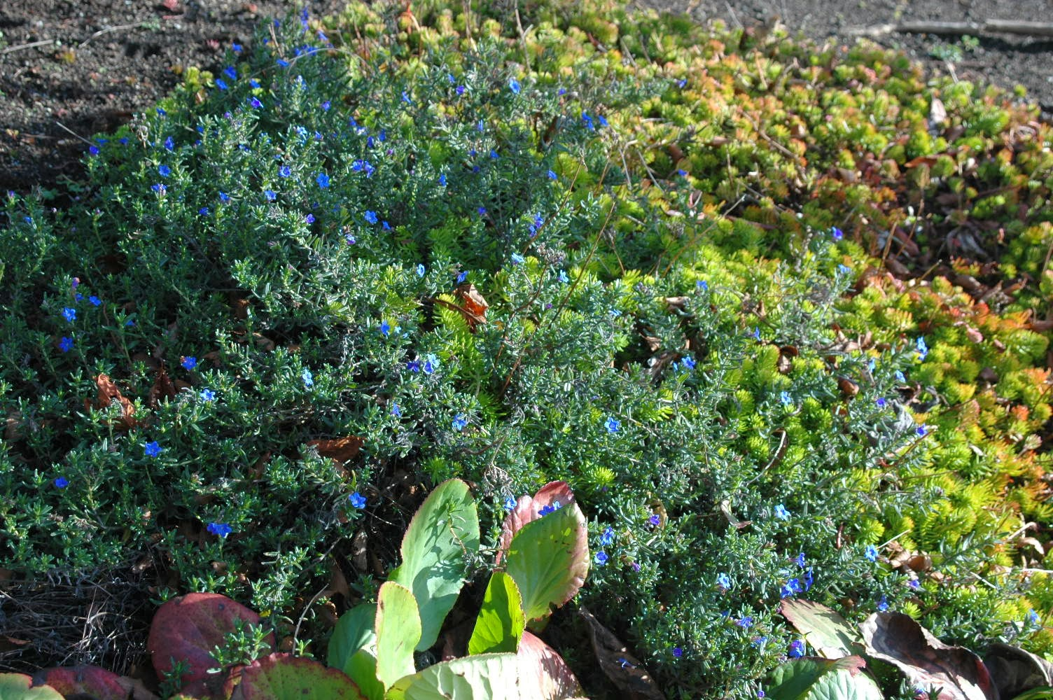 "Lithodora diffusa growing with sedum rupestre ""Angelina"""