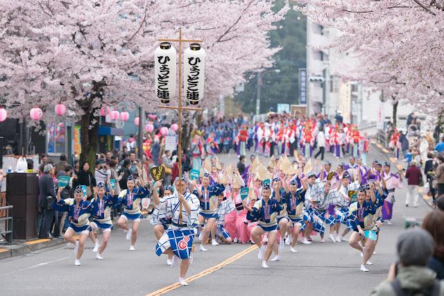 せいせき桜まつり、満開の桜の下で踊るひょっとこ連の阿波踊りの写真