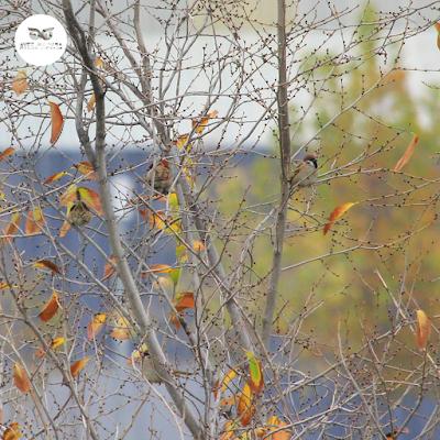 Bando de gorriones molineros (Passser montanus) en un árbol de Zaragoza.