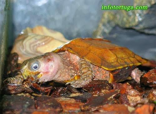 Geoemyda spengleri comiendo un insecto