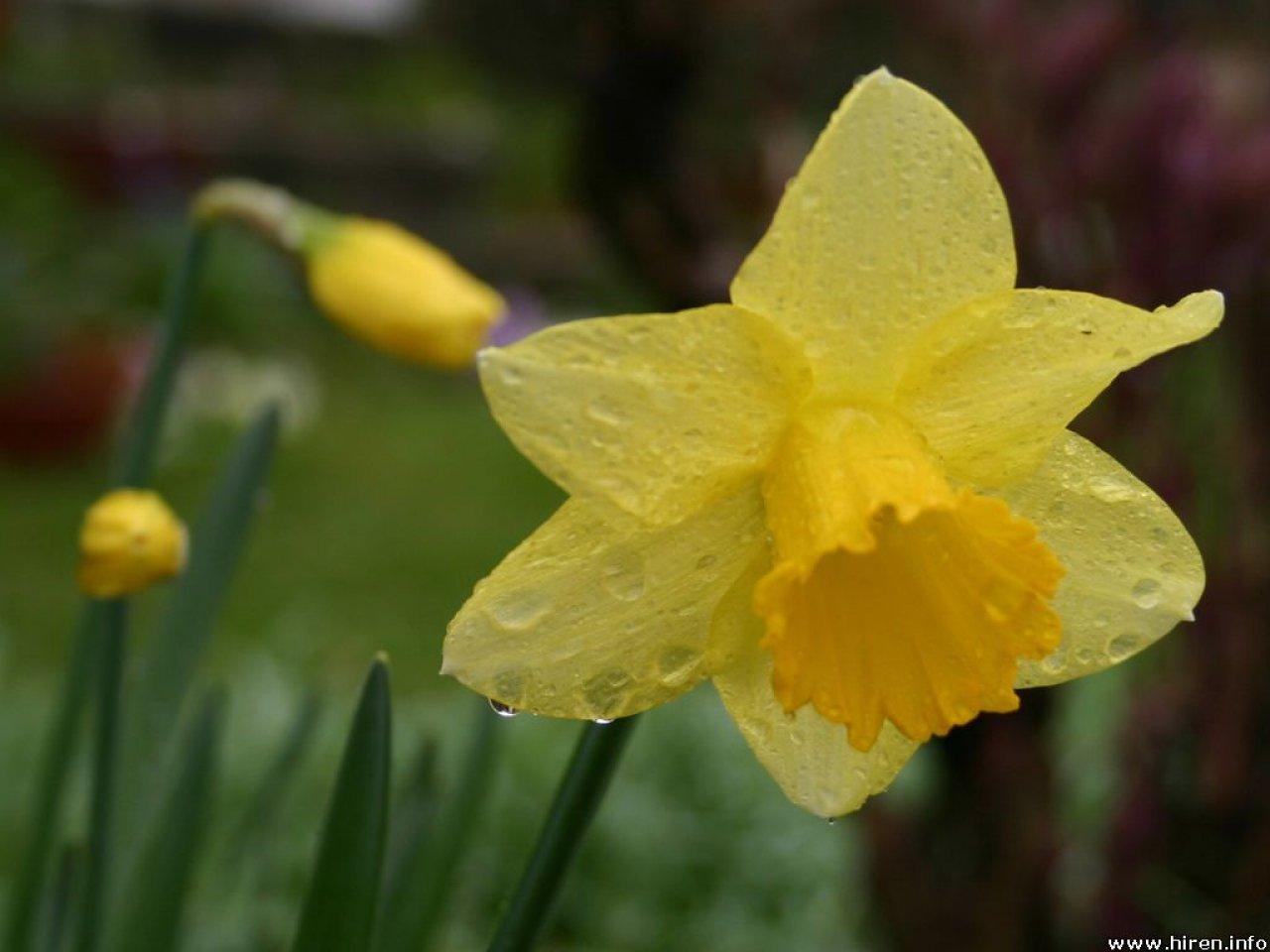 download daffodils 1920x1080 wallpaper - photo #17
