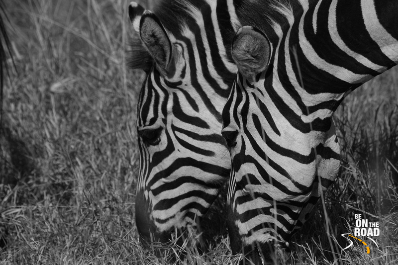 Zebra prints of Africa - gorgeous animal prints
