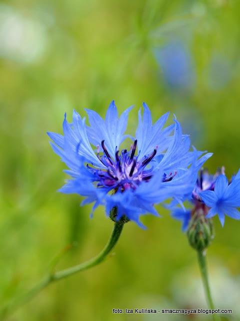 wawer, modrak, modraszek, macoszka, kwiaty jadalne, platki kwiatow, rosliny lecznicze, kwiaty jadalne, lemoniada chabrowa, napoj chabrowy,