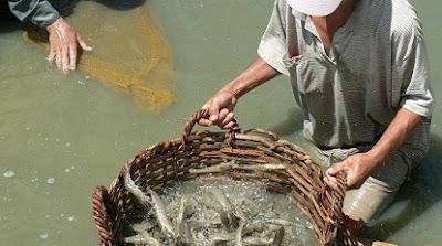 cara budidaya udang vaname di kolam terpal,pembesaran,di kolam beton,kolam terpal,secara tradisional,artikel,budidaya pdf,makalah budidaya udang vaname,