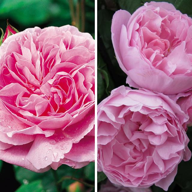 hoa hồng thân gỗ mary rose