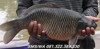Master Umpan Ikan Mas Indukan