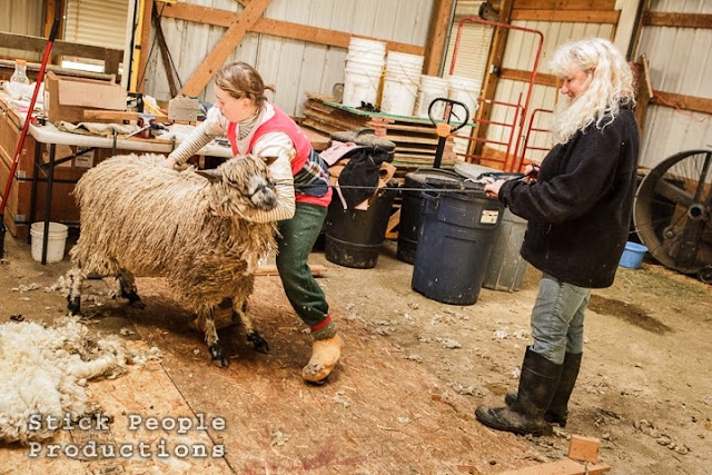 Sheep Shearing - (c) Stick People Productions