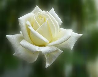 gambar bunga mawar putih