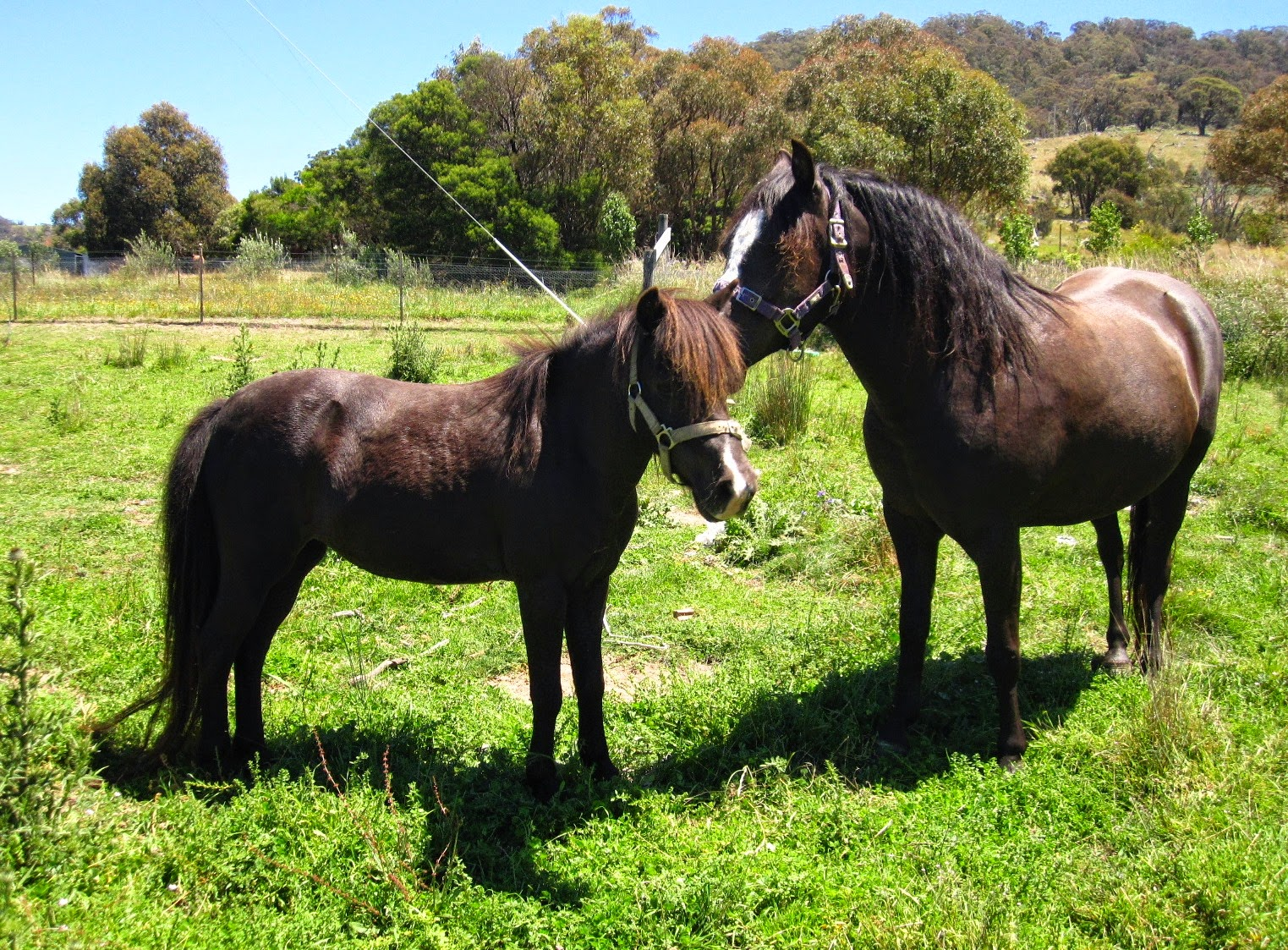 A miniature horse and a pony in a paddock.