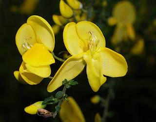 Flores amarillas del escobón o retama negra (Cytisus scoparius)
