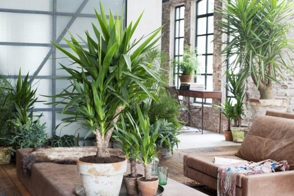 How to grow yucca elephantipes the garden of eaden for Plante yucca