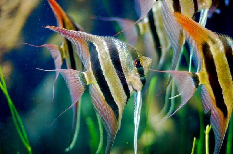 makanan ikan manfish