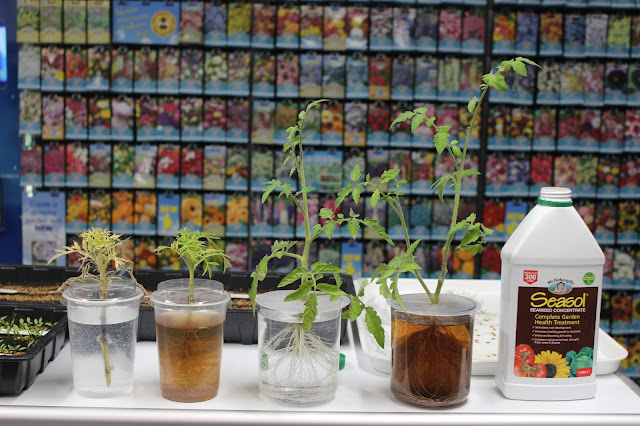 Visual results from the seaweed plant tonic and root formation experiment
