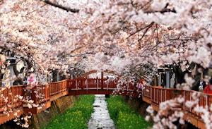 Musim Semi Di Korea Selatan