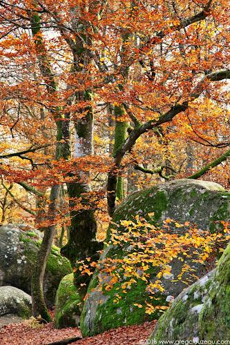 Hêtre à l'automne, Bas Cuvier, Fontainebleau