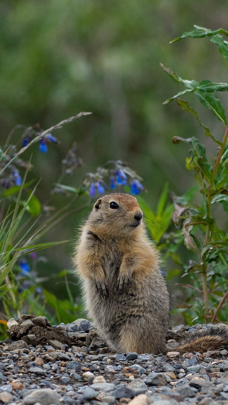 An arctic ground squirrel.