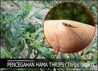 Pengendalian dan Pencegahan hama Thrips (Thrips tabaci) pada tanaman Cabe