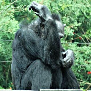 O chimpanzé deprimido no Parque Zoológico de Sapucaia