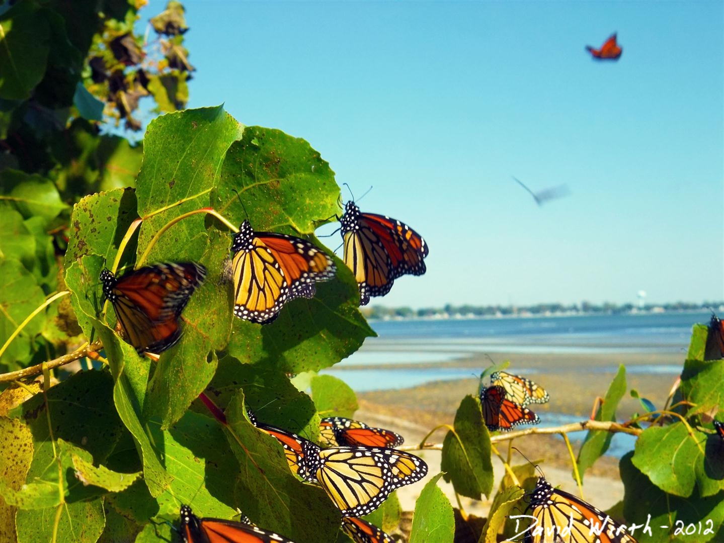 monarch butterfly migration, michigan, canada, mexico, thousands