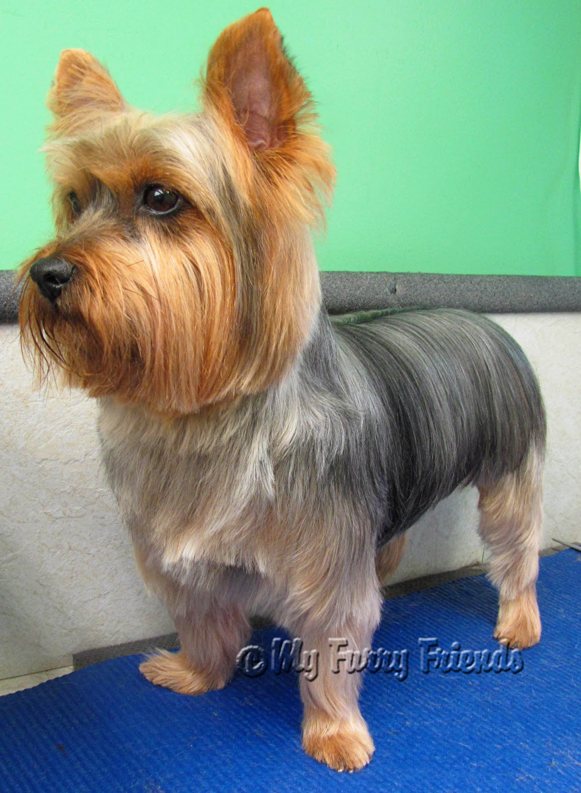 Long Hair Yorkie Haircuts Biewer Yorkshire Terrier Yorkshire