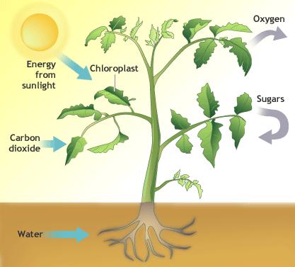 Do Aloe Vera Plants Get Their Food From The Sun