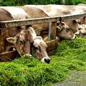 Mustika Untuk Ternak