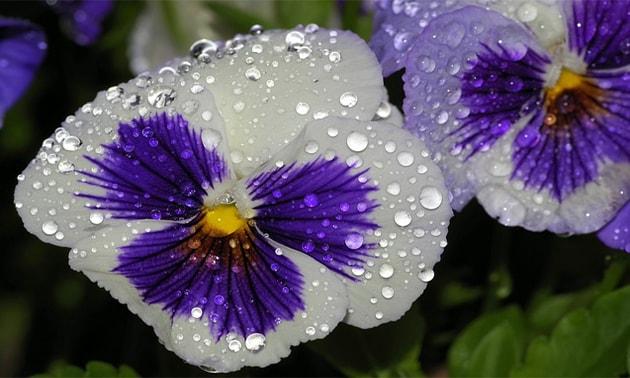 Amor perfeito (Viola tricolor, Viola arvensis)