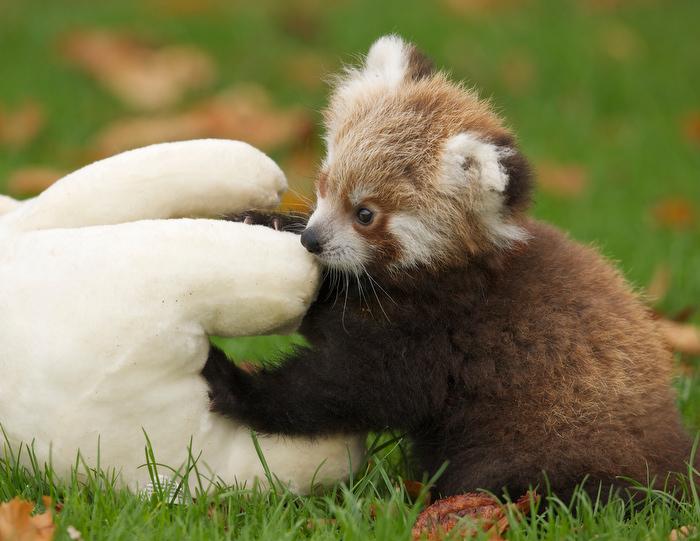 cute baby red pandas - photo #1