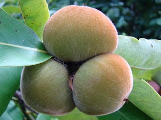 Velvet Apple Fruit Pictures