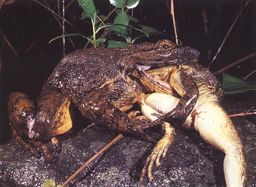 Do Goliath Frogs Live On Land Or In Water 27