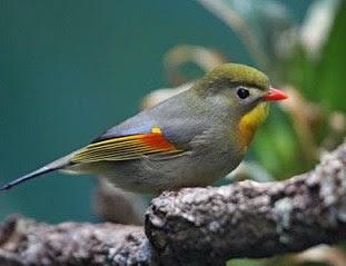 Mengetahui Sarang Burung Robin Di Habitat Aslinya Alam Bebas Terlengkap