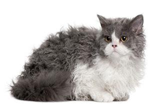 Kucing Rex Selkirk dan Karakteristiknya