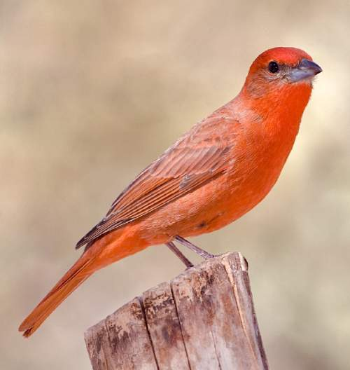 Red tanager - Piranga flava