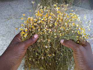 Dried Chamomile Plants.