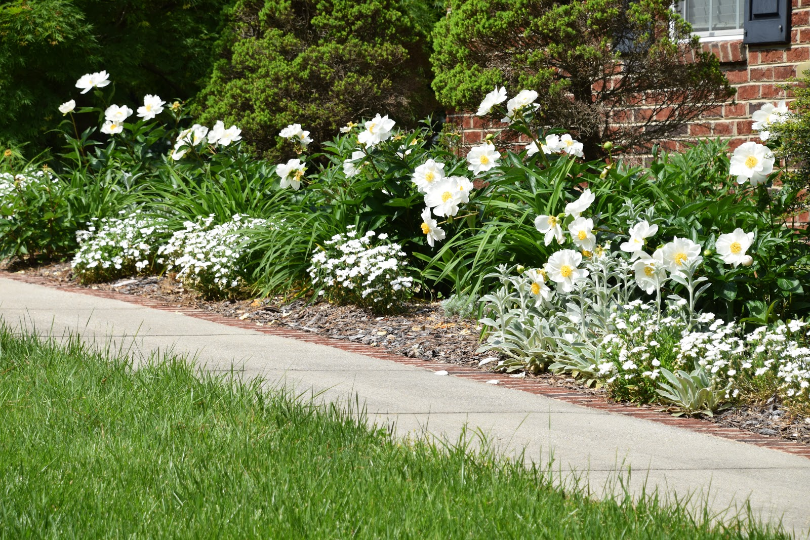 Southern Peony 2019 White Peonies En Masse In Front Of The House