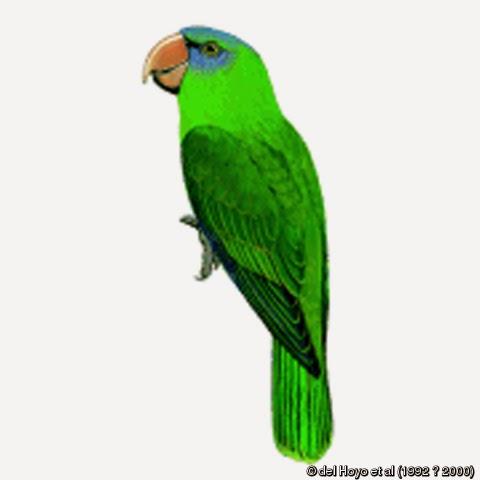 Loro de Burú: Tanygnathus gramineus