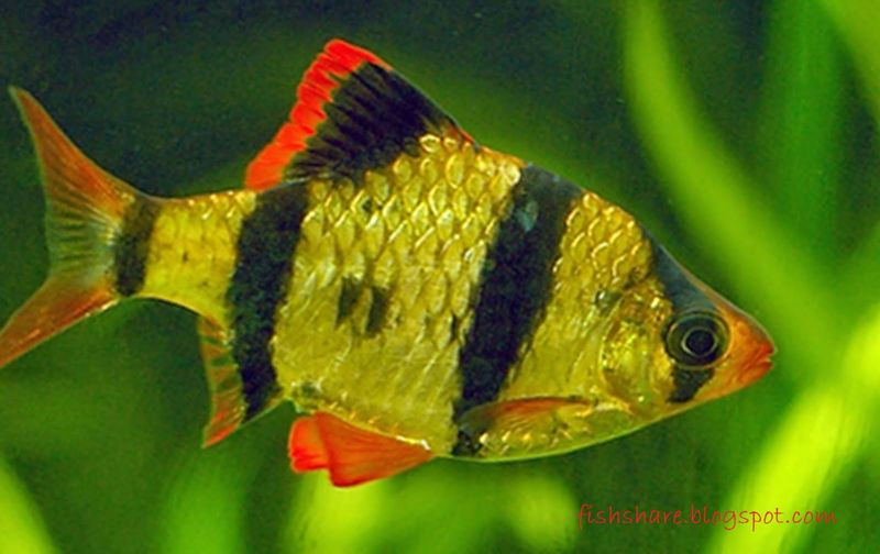 Gambar sumatra Jenis Ikan Hias Air Tawar Warna Belang Kuning Hitam